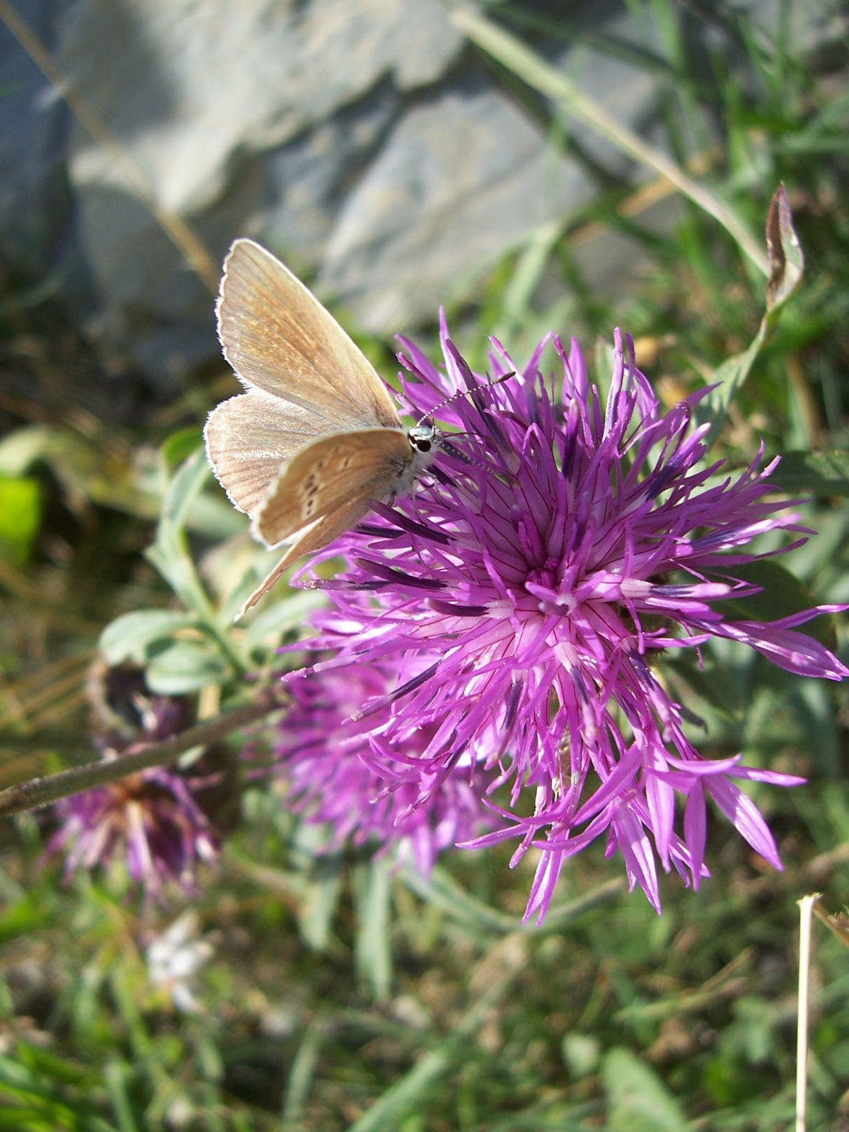 Photo : papillon le sable provencal - polyommatus ripartii-copie-2