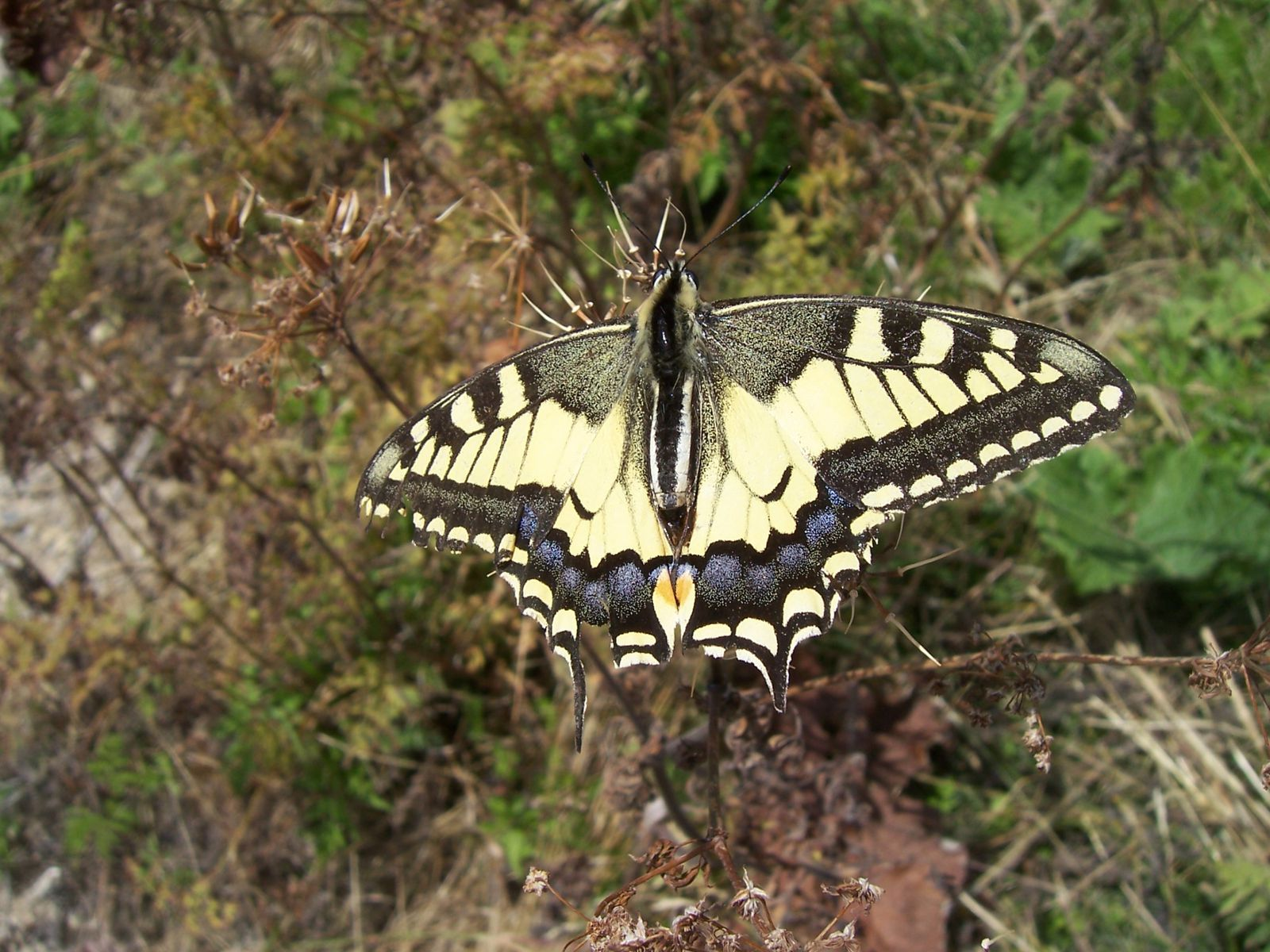 Photo : papillon machaon - papilio machaon