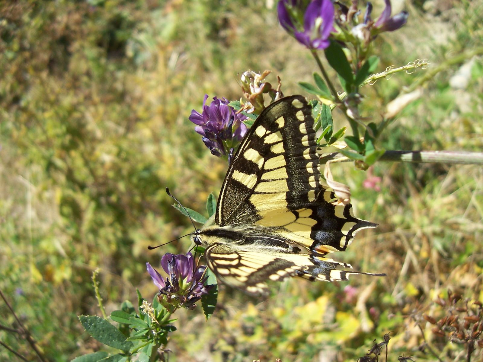 Photo : papillon machaon ou grand porte-queue papilio machaon