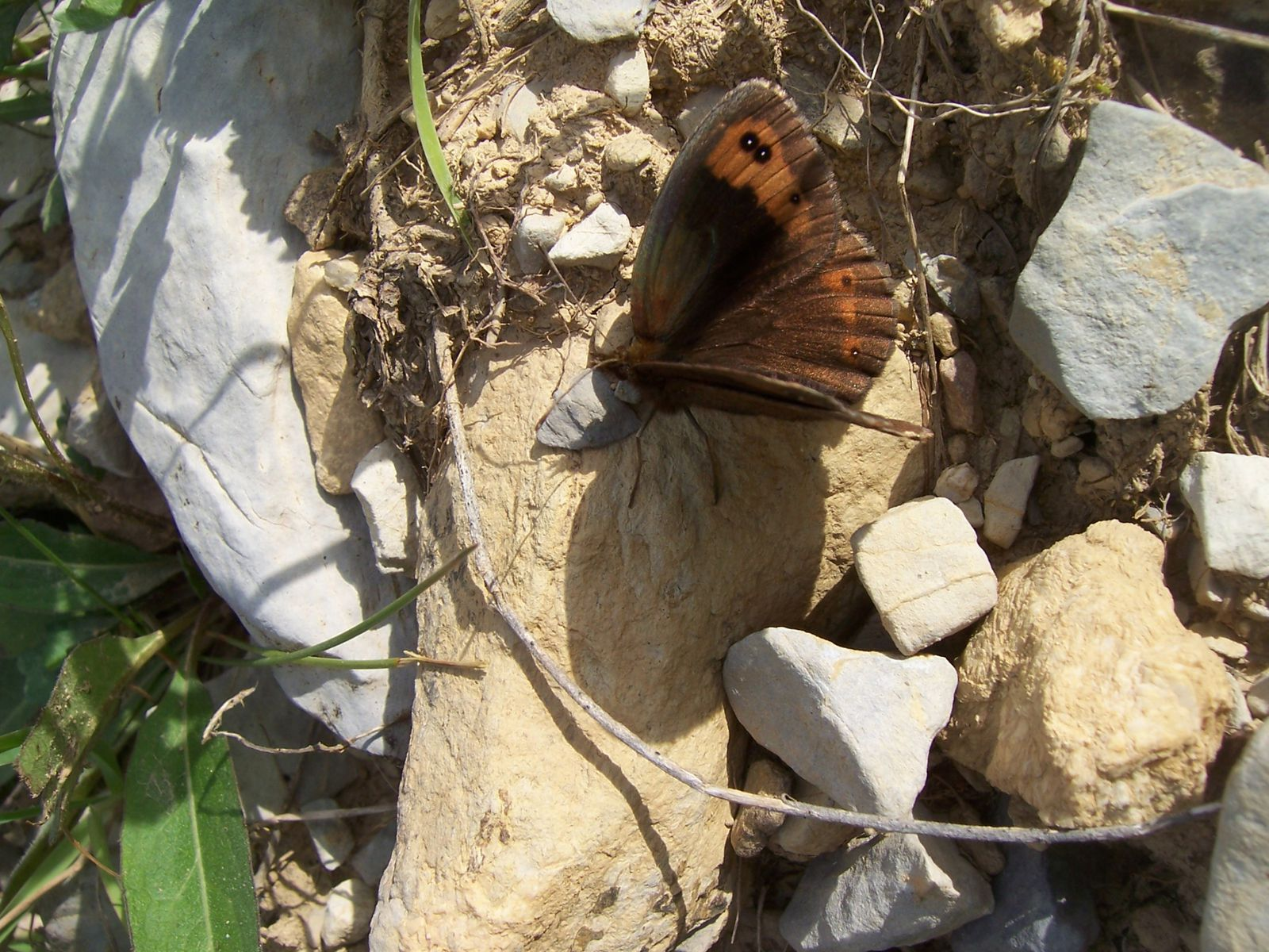 Photo : papillon moire - erebia