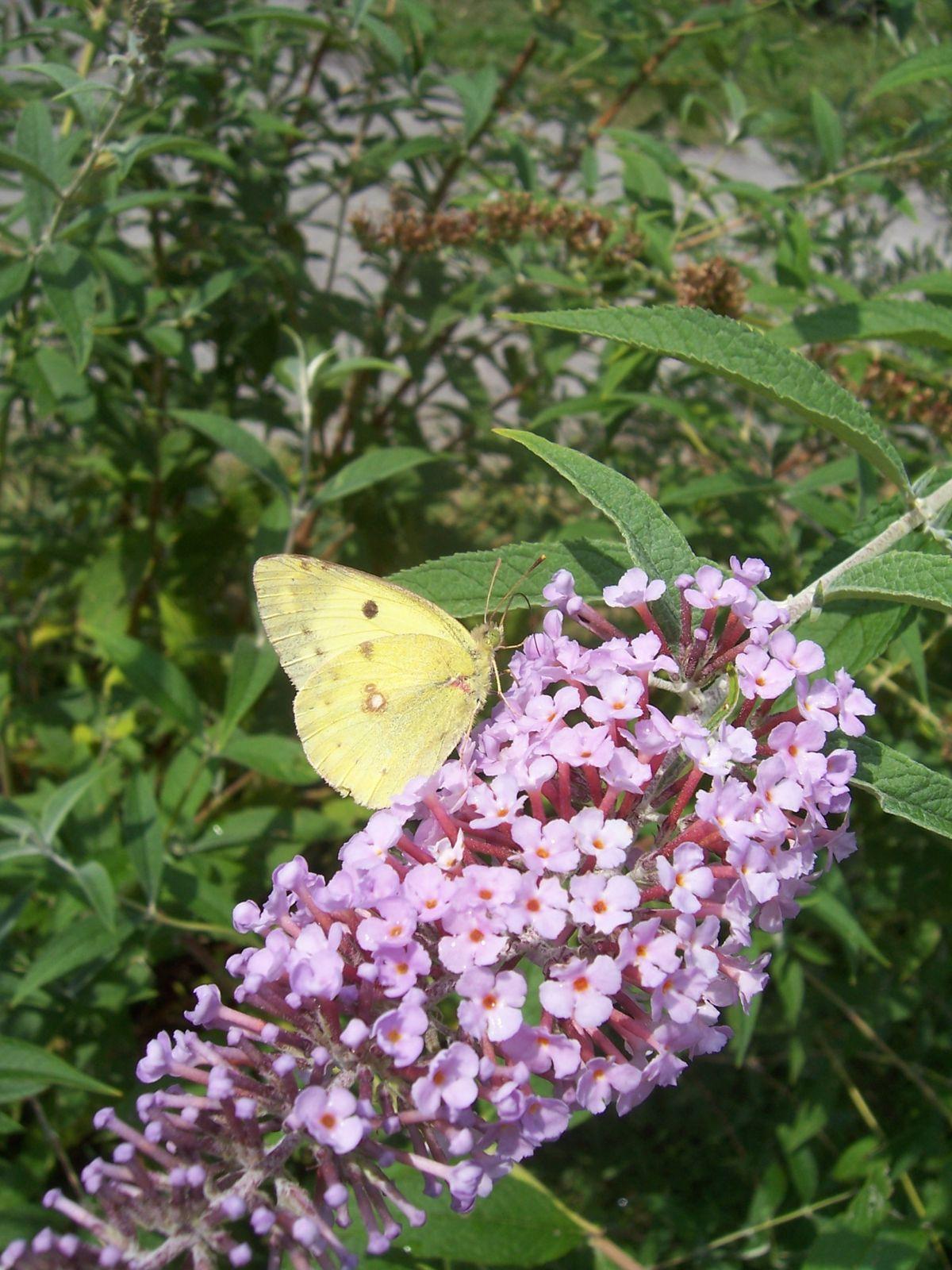 Photo papillon souci sur buddleia roquebilliere 17-08-2006 2b
