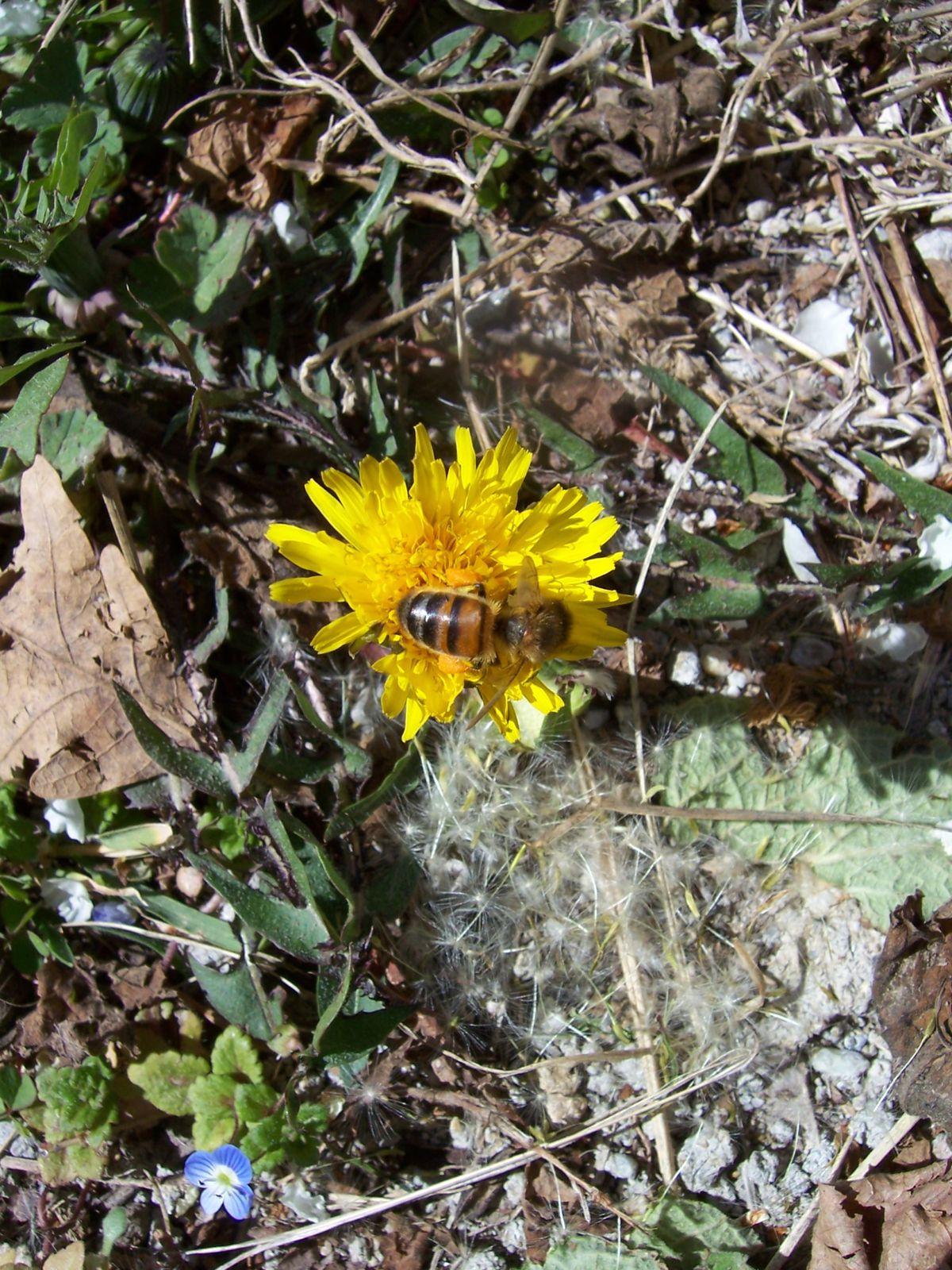 Photo : abeille butinant