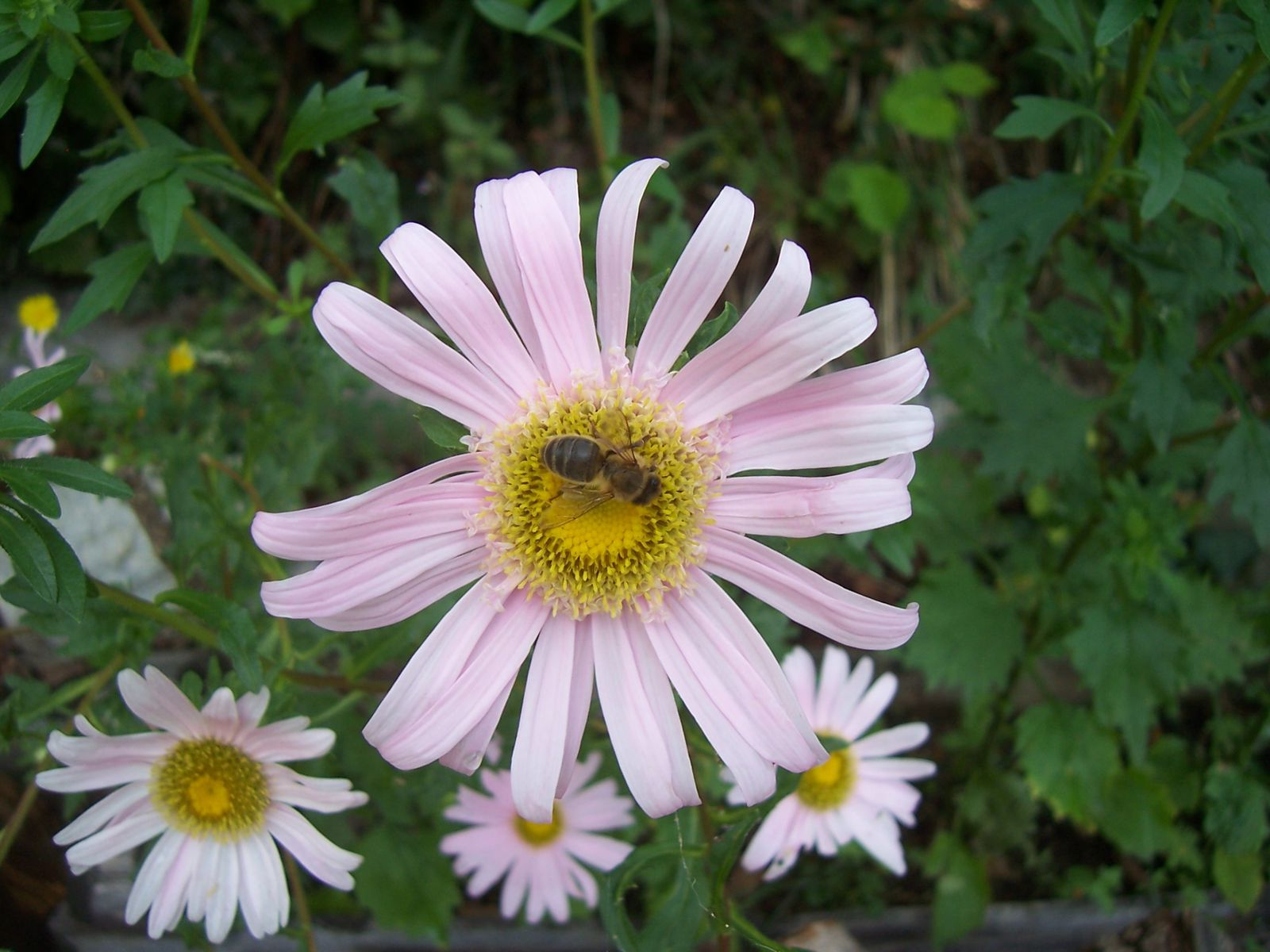 Photo insecte : abeille sur reine-marguerite