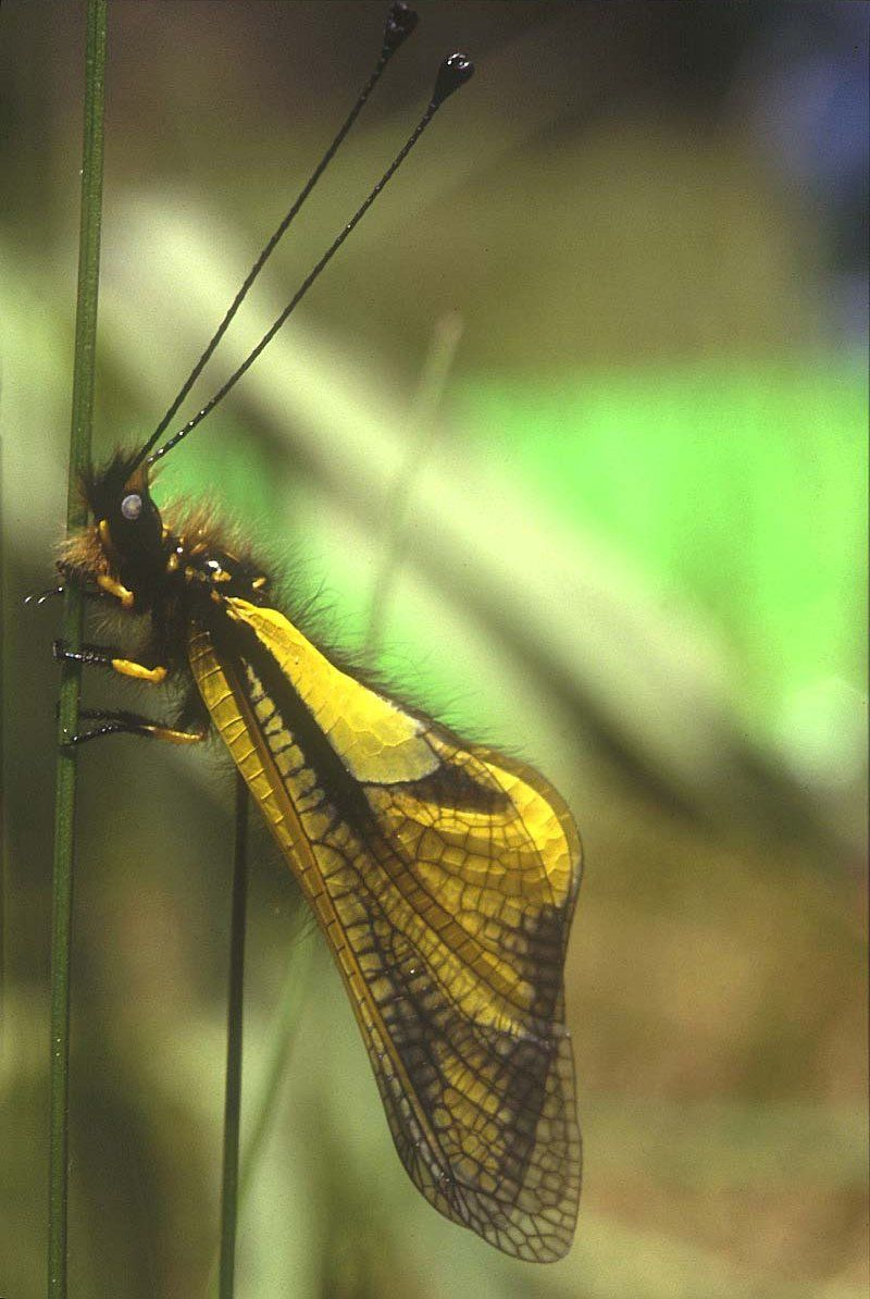 Photo : insecte ascalphe