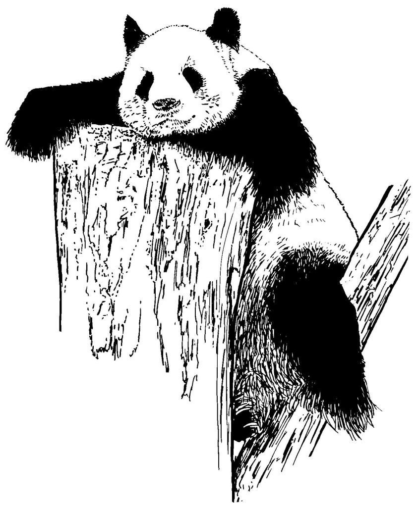 Dessin-coloriage animal : panda