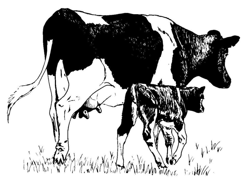 Dessin-coloriage animal : vache-veau
