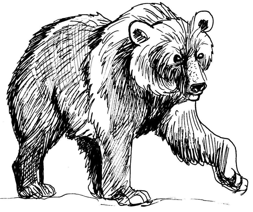 Dessin-coloriage animal : ours brun