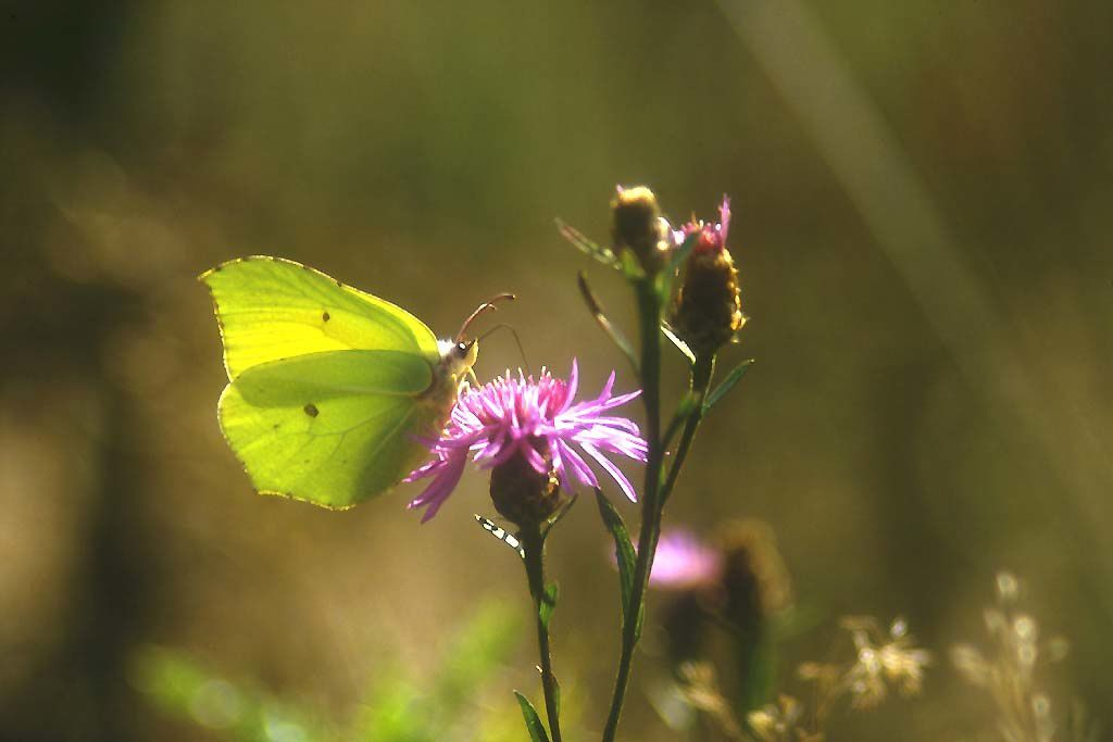 Photo de papillon : Papillon citron gonopteryx