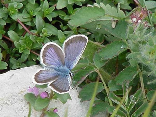 Photo de papillon : papillon-le-sable-polyommatus.jpg