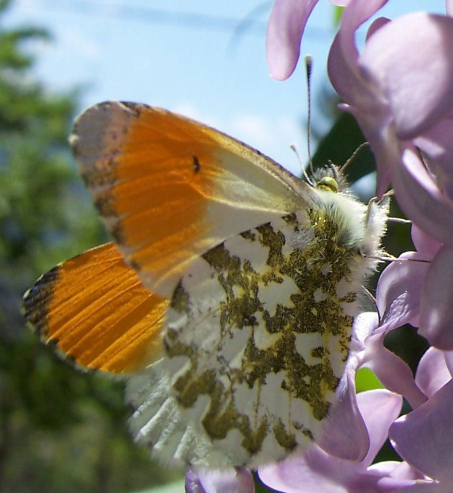 Photo de papillon : papillon aurore - anthocaris cardamines male