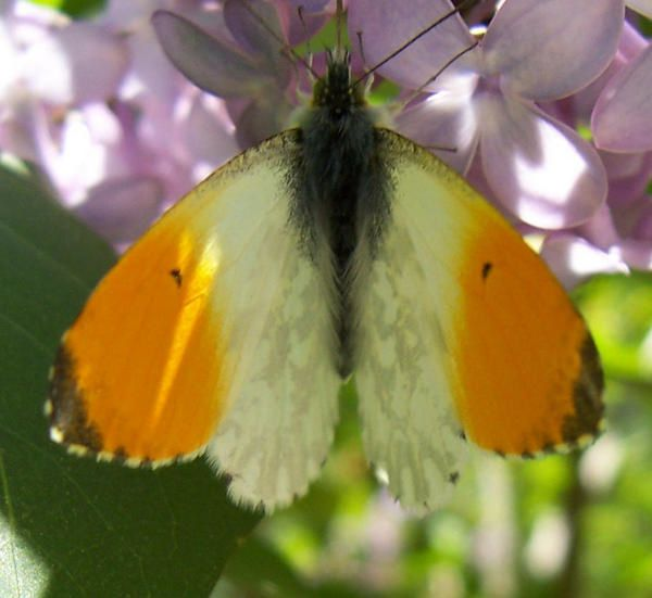Photo de papillon : papillon-aurore-anthocaris-cardamines-male.jpg