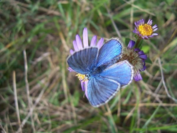 Photo de papillon : papillon-bleu-azure.jpg