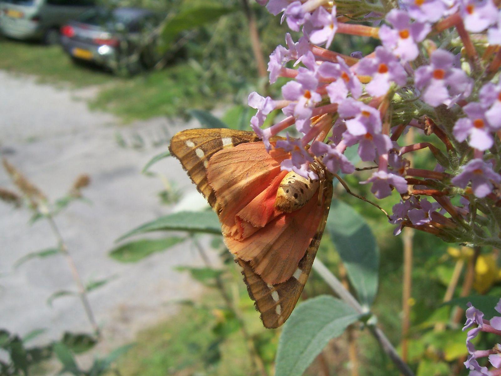 Photo de papillon : papillon ecaille chinee vue de dessous