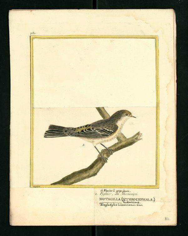 Dessin gravure buffon oiseau figuier missouri - Dessin figuier ...