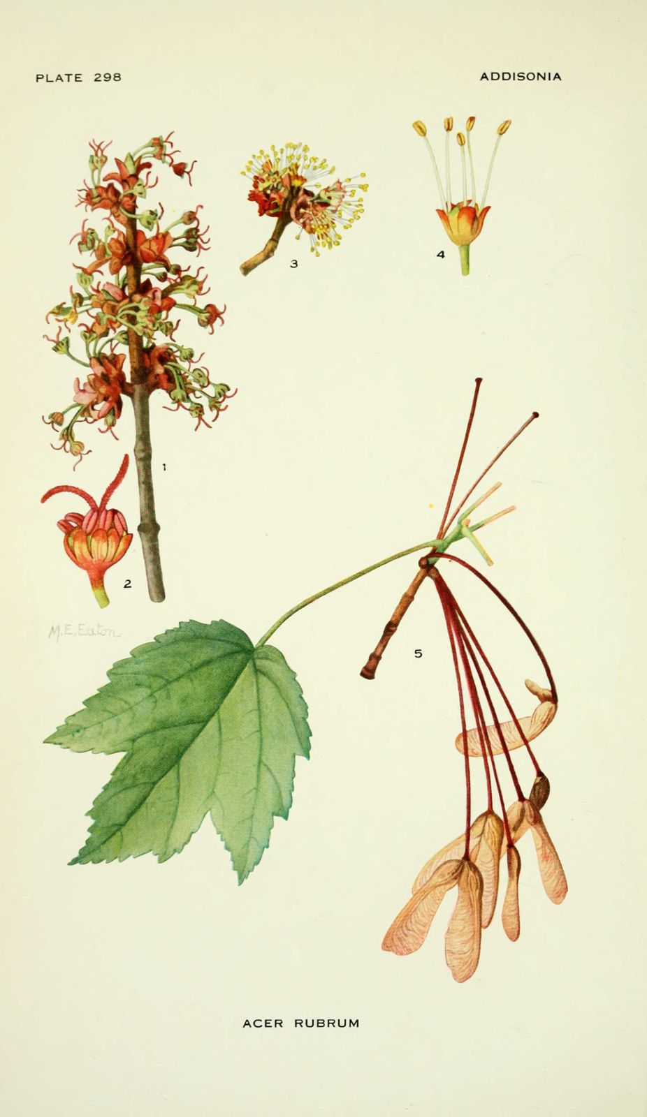 Dessin illustration flore acer rubrum erable rouge erable du canada education - Erable rouge du canada ...