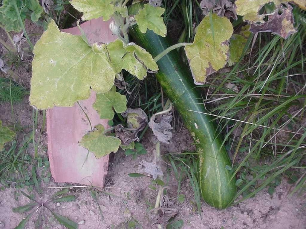 Photo plante legume courge de nice education - Courge de nice ...