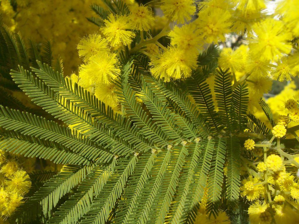 Photos plantes du jardin mimosa jardinage education for Plantes du jardin