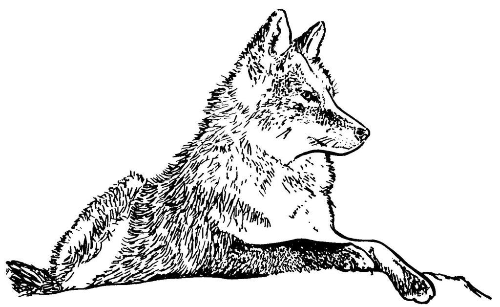 Dessin coloriage animal loup - Dessin de loup simple ...