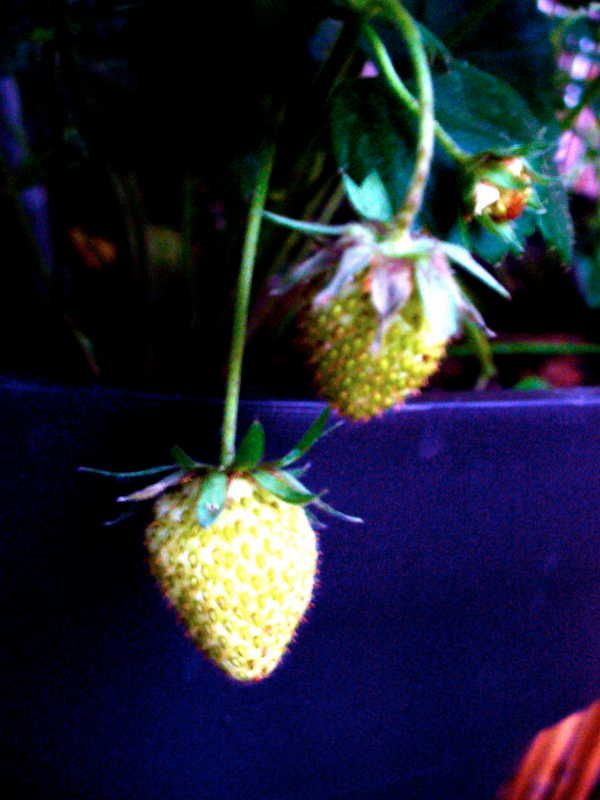 fraises01
