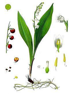 01.Muguet.Racine.Tige.Fruit