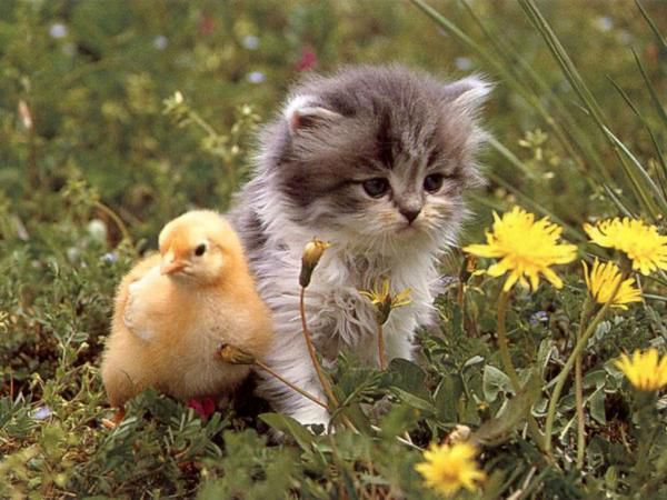 chat-canard