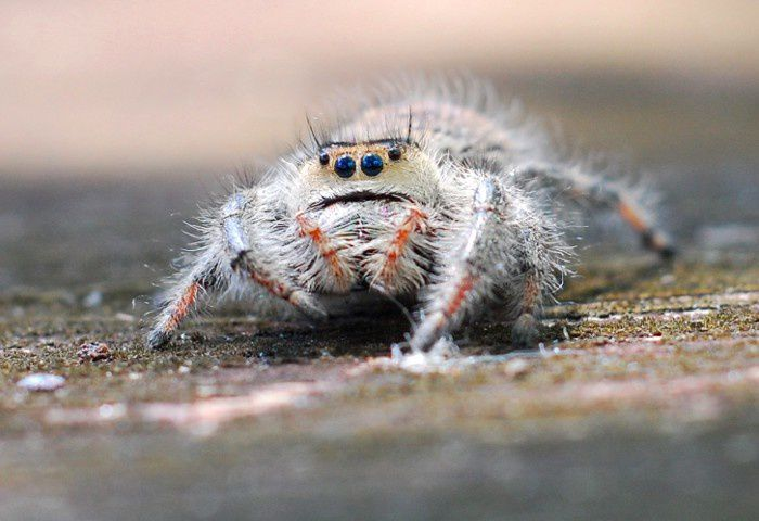 Jumping spider 02