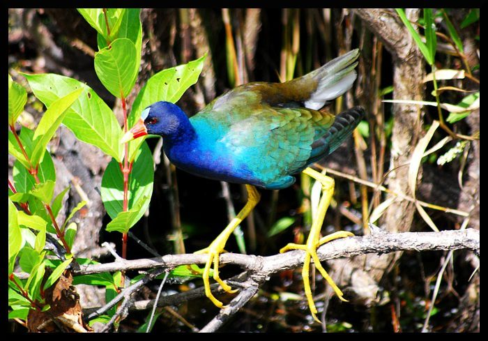 Purple-Gallinule.JPG