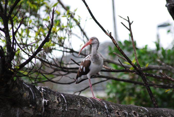 ibis5