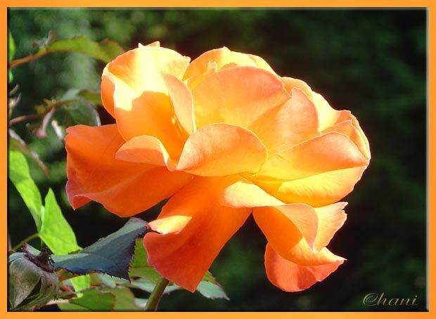 Photo : rose-orange.jpg
