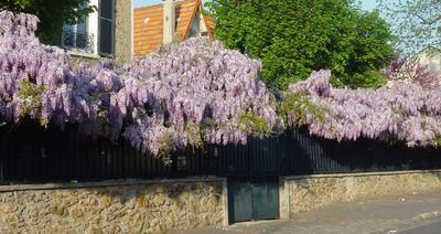 Wisteria en fleurs photo raincy-nono