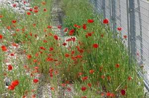 Coquelicots le log du tram-train T4