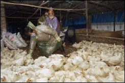 grippe-aviaire-poulet-elevage.jpg