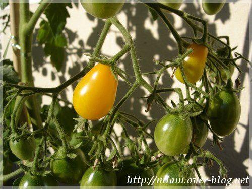 premiere-tomate-balcon.JPG