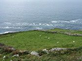 Dingle Peninsula Sheep