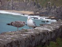 Birds on Dingle Peninsula Cliff