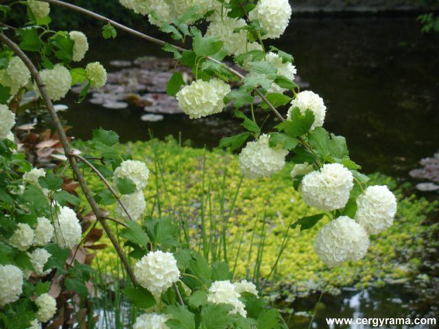 jardin de campagne pompons blancs