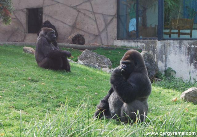 singes chimpanzé 02