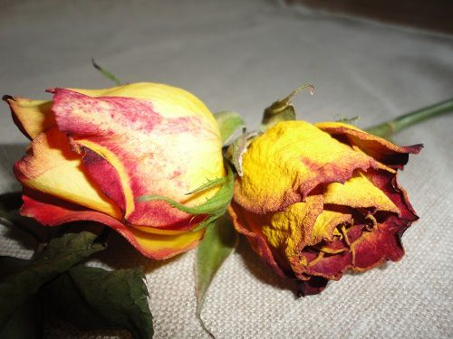 ataliegrilleaout20122roses1608121.jpg