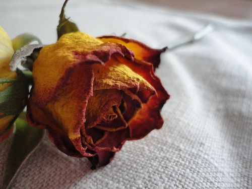 ataliegrilleaout2012rosesechee1608121.jpg