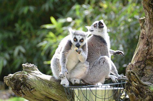 lemuriens2304131.jpg