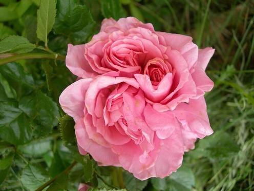 roserose2coeurs0506081.jpg