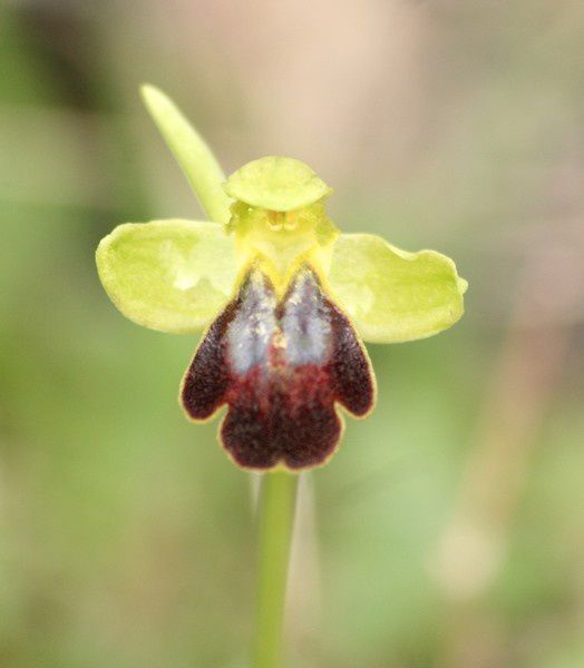 Ophrys lucentina Ophrys-lupercalis3p