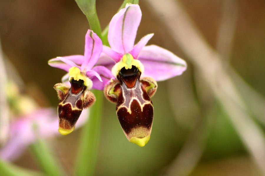 O. Scolopax/O. Picta Ophrys-picta2p-copie-1