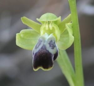 Ophrys padernensis 2009.01.17-032a