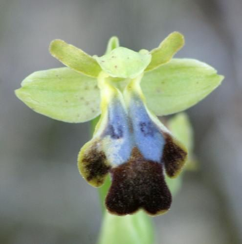Ophrys padernensis 2009.02.05-171