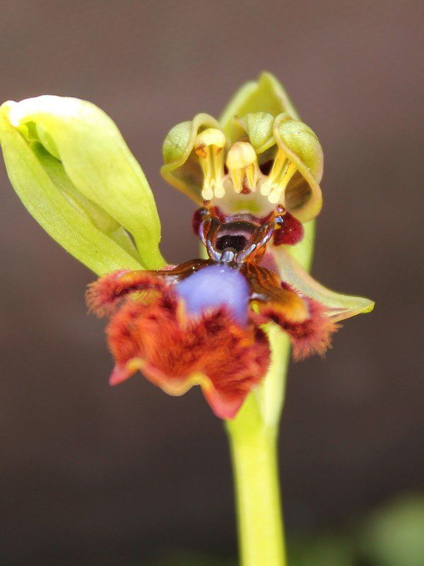 Ophrys speculum :: Ophrys miroir 241spectriplap