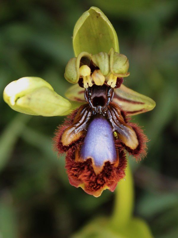 Ophrys speculum :: Ophrys miroir 242spectriplap