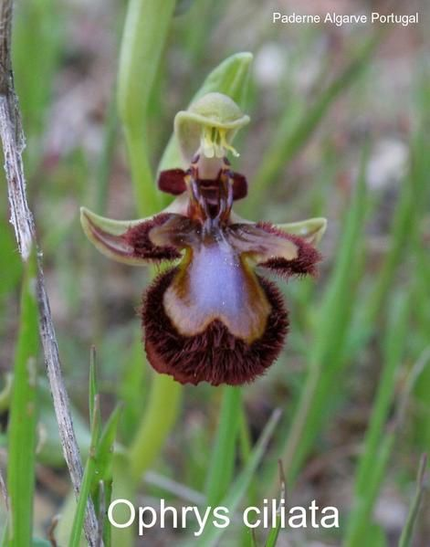 Ophrys speculum( Ophrys miroir ) Ophrys-ciliata2