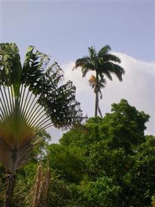 L-arbre-du-voyageur-et-le-palmier-royal.JPG