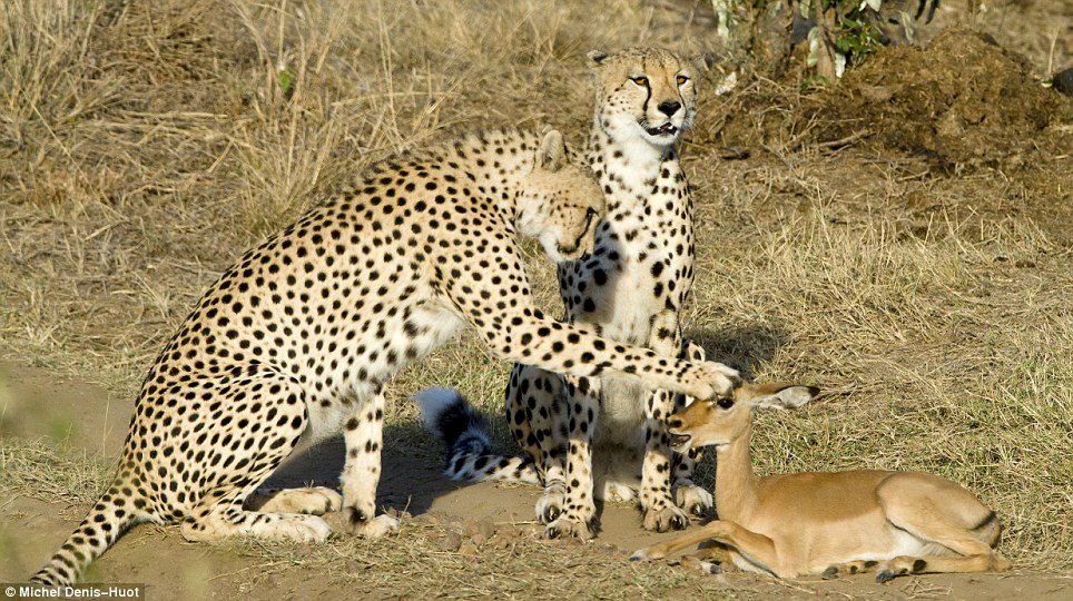 Three cheetahs spare tiny antelope's life